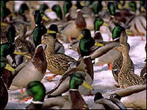 Ducks in Alaska.