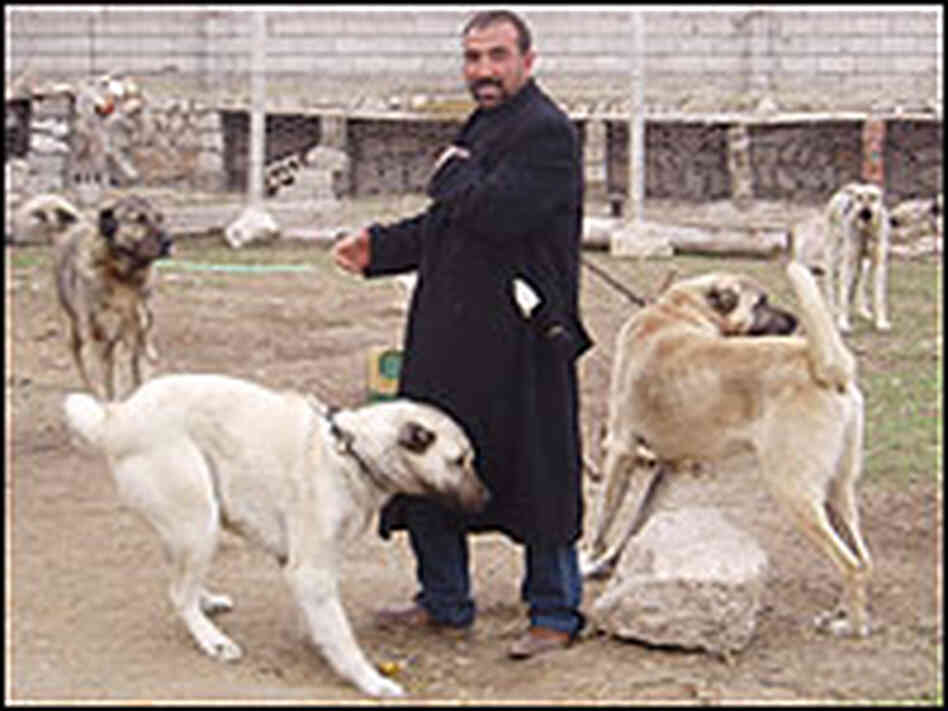 the kangal a turkish shepherd 39 s best friend npr. Black Bedroom Furniture Sets. Home Design Ideas