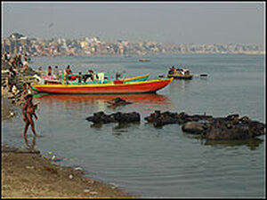 Buffaloes bathing in the Ganges River in the city of Varanasi.