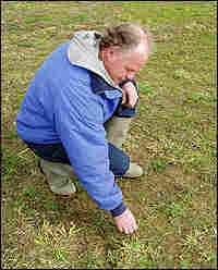 Dairyman Fred Folkertsma kneels in one of his grazing fields, nibbled to dirt by snow geese.