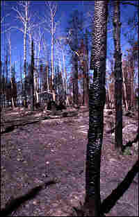 Burned tress along Yellowston'e Blacktail Plateau, burned in the fires of 1988.