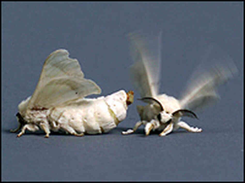 Silkworms (Bombyx Mori) mating.